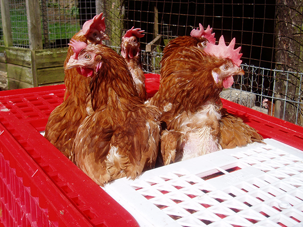 Crates with hens Sunbathing in